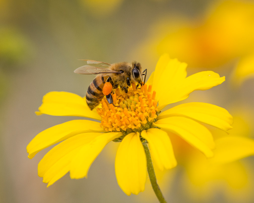 Image result for bee on flower""